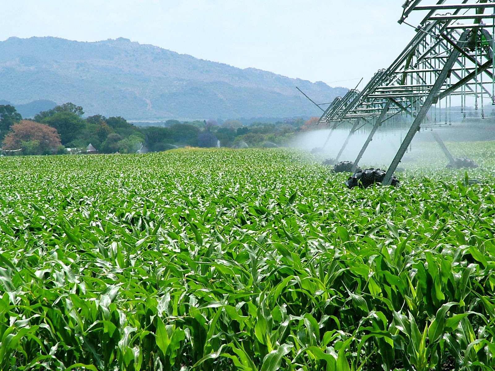 corn field being irrigated