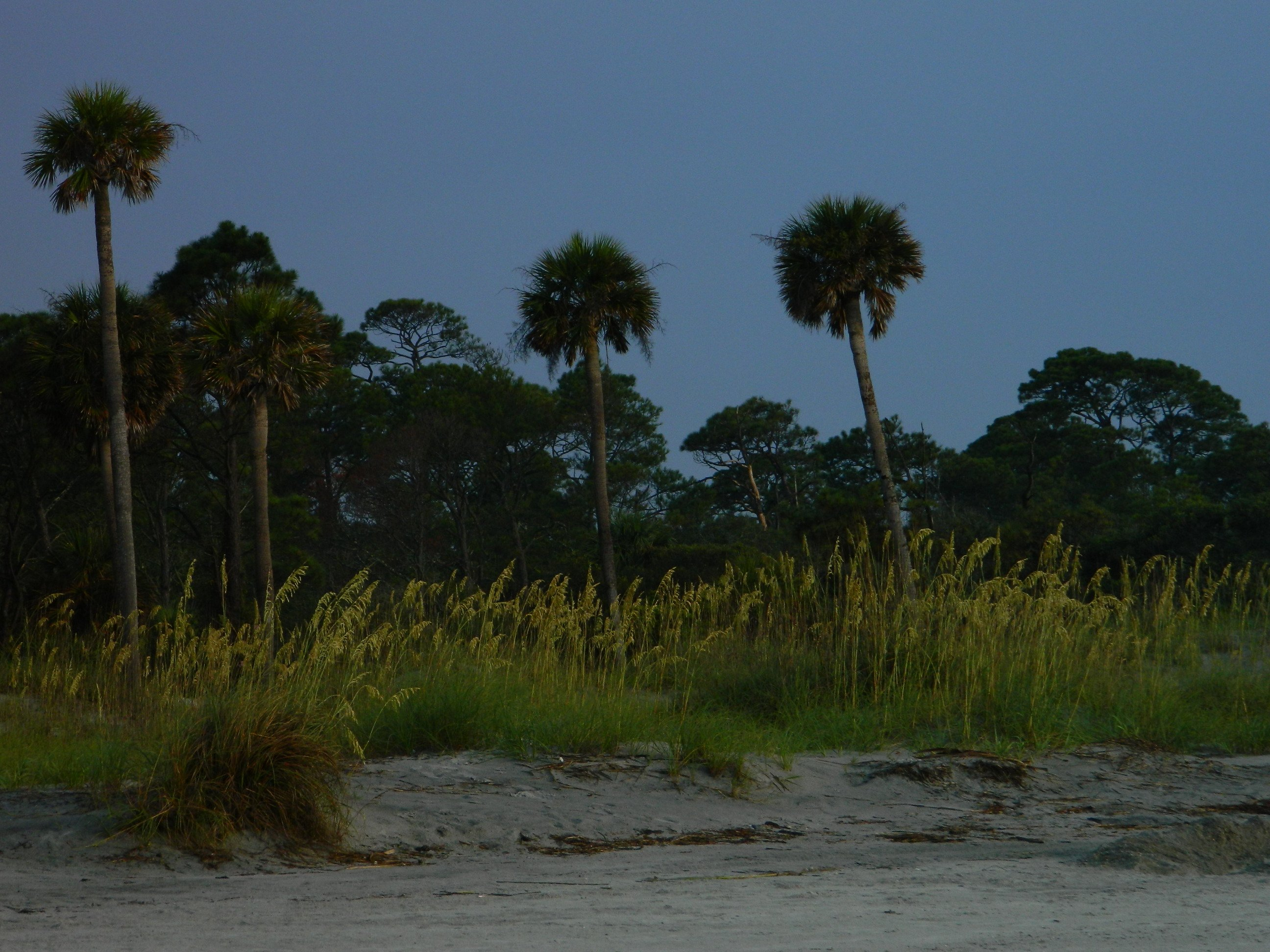 view of Hunting Island palm trees from the beach