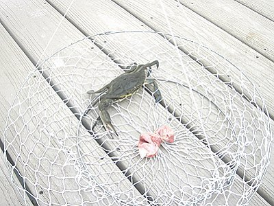 blue crab caught in a two ring net